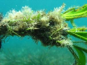Caulerpa cylindracea (Eduardo Infantes)
