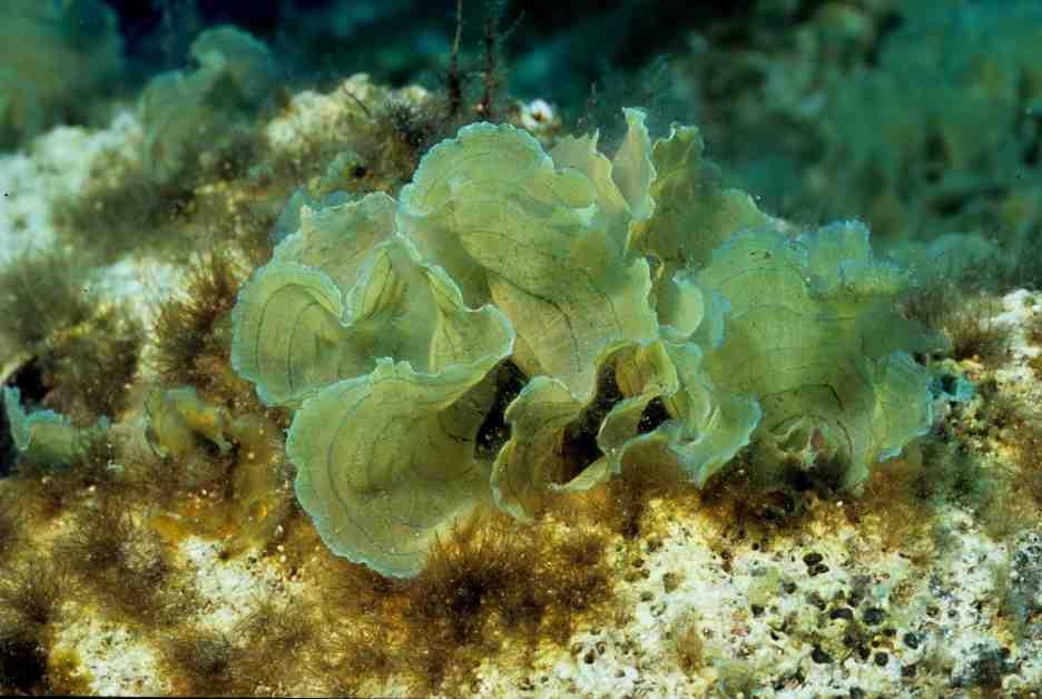 Stypopodium schimperi (Kike Ballesteros)