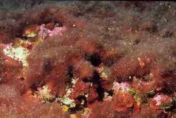 Womersleyella setacea (Kike Ballesteros)