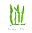 Caulerpa taxifolia