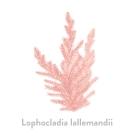 Lophocladia lallemandii