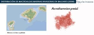Distribución Acrothamnion preissi 2008