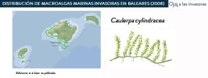 Distribución Caulerpa cylindracea 2008