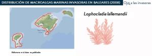 Distribución Lophocladia lallemandii 2008