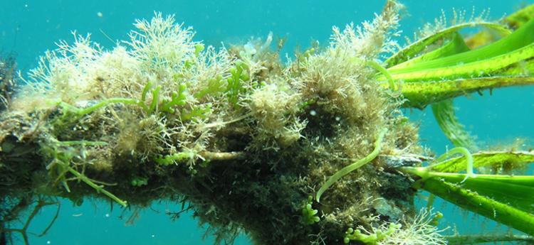 Caulerpa cylindracea sobre Posidonia oceanica